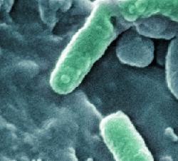 Бактерии в анализе мочи лечение